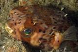 Balloonfish (puffer)