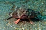 Polkadot Batfish