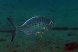 Yellowfin Mojarra