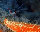 Candy Cane Shrimp