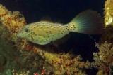 Scrawled Filefish on Vandenberg