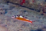 Tobaccofish