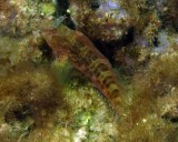 Featherduster Blenny