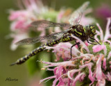 DragonFly-on-Bee-Balm.jpg