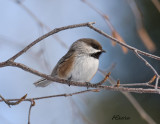 Jan13-Boreal-Chickadee.jpg