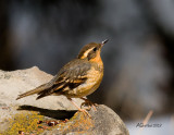 Varied-Thrush-Apr-14-2013.jpg