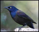 CommonGrackle.jpg