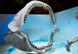 Megalodon jaw HMNS