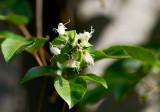 Passiflora edulis first bud