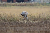 Chuck goes back on Monday Oct 22 and finds 313 with 5 adult cranes.