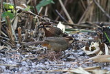 White-browed Laughingthrushes