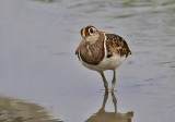 Greater Painted Snipe