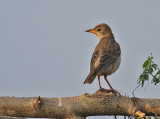 Rosy Starling, juvenile
