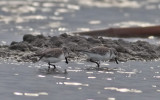 Spoon-billed Sandpipers