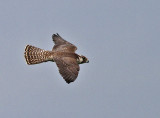 Perergrine Falcon, juvenile