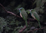 Blue-bearded Bee-eaters