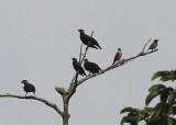 Spot-winged Starlings