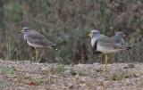 Grey-headed Lapwings