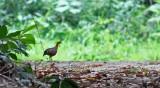 Ferruginous Wood Partridge