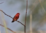 Red Avadavat, male