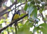 Yellow-bellied Flowerpecker