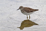 Long-tailed Stint