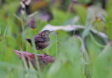 Rusty-rumped Warbler