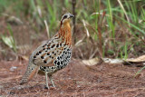 Partridges, Quails and Buttonquails