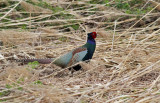 Japanese Green Pheasant