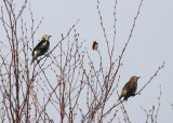 Chestnut-eared Starlings