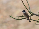 Meadow bunting, male