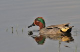 Common Teal