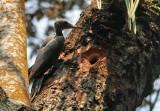 Great Slaty Woodpecker, fem