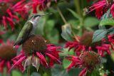 Hummingbird Resting on bee balm