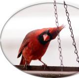 red_birds_2013