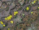 Bisporella citrina Lemon Disco ANR Dec-06 RR