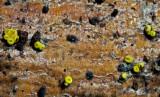 Bisporella sulfurina Attenborough Jan-10 John_Leach