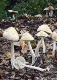 Agrocybe rivulosa WoodChips AttenboroughNR Oct-07 RR
