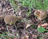 Boletus pruinatus Matt Bolete Beech TrentHouseGarden 2005 AW