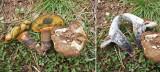Boletus pulverulentus MansfieldCemetery Howard Williams