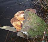 Daedaleopsis confragosa  on willow DaneshillLakes HW