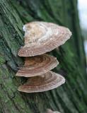 Daedaleopsis confragosa Blushing Bracket ANR Nov-06 RR