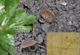 Dumontinia tuberosa with Wood Anemone  CarltonWood HW Apr-12
