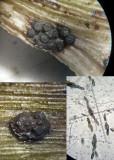 Euepixylon udum rotten oak GamstonWood Apr-12 HW