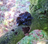 Exidia glandulosa Witches' Butter_BestwoodCP 2004 AW