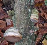 Fomes fomentarius Hoof Fungus on oak BestwoodCP Nov-09 RR