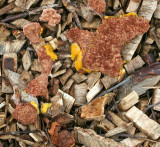 Fuligo septica Flowers of Tan SherwoodForest 23-6-07 RR