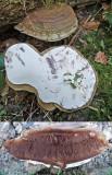 Ganoderma applanatum Artist's Bracket Ash GamstonWood 05-07 HW
