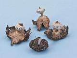 Geastrum striatum 2 Conifer Bestwood Aug-07 RR