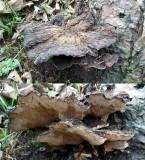 Gloeophyllum odoratum Anise Mazegill Pine BarrowHills 02-06 HW